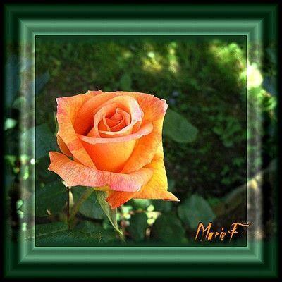 Rose de mon jardin cadeau pour vous for Jardin pour vous
