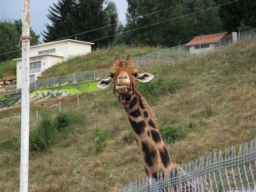 la girafe prend l'air